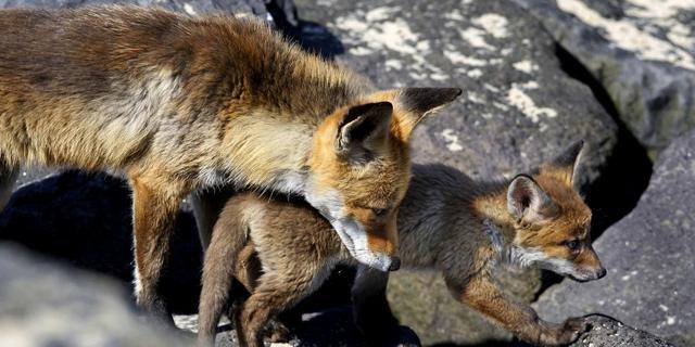 Velen zien live vosjes geboren worden