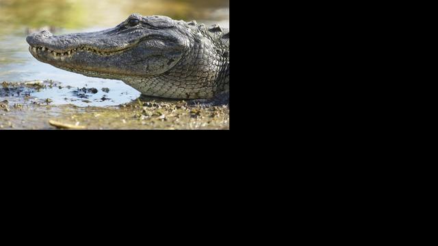 Man gebeten door alligator tijdens vlucht voor politie