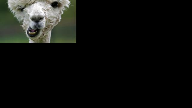Zes alpaca's uit kinderboerderij gestolen