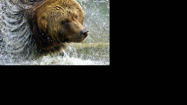 Russen schieten ruim 100 beren dood