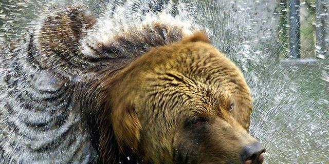 Bruine beer teruggekeerd in Tsjernobyl