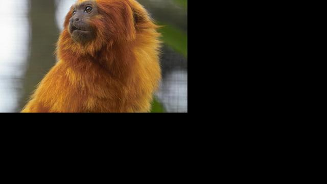 Zeldzame apen gestolen uit Franse dierentuin