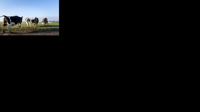 'Koe verdwijnt uit Nederlands weiland'