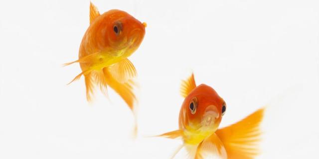 Honderd goudvissen gestolen uit vijver Haaksbergen