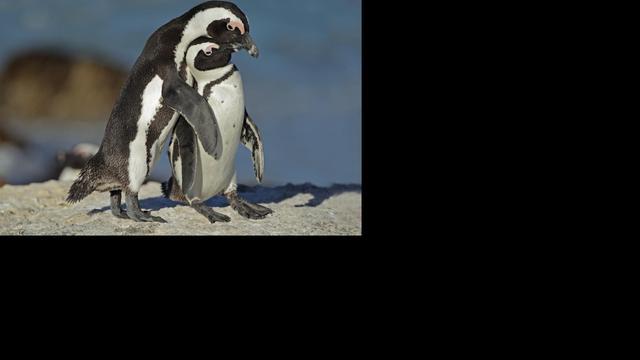 Oudste fossielen van pinguïns ontdekt