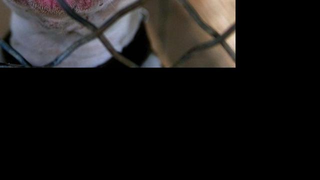 Pitbull teistert Helmondse bomen