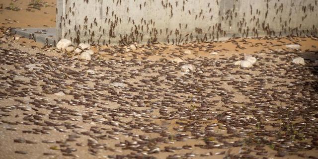 Madagaskar zucht onder miljarden sprinkhanen