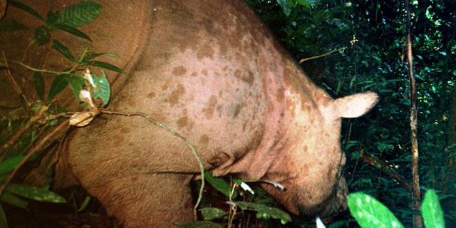 Sporen zeldzame neushoorn in Indonesië