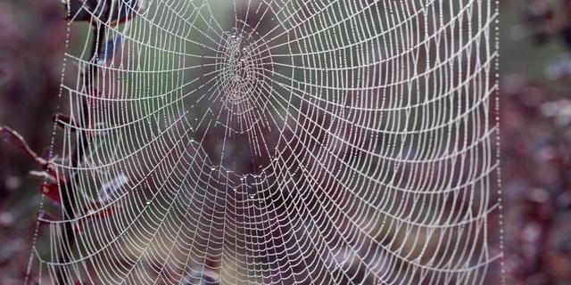 Software herkent spinnensoort aan vorm van web