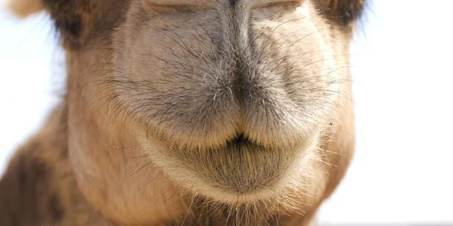 Mexicaanse kameel verplettert dierentuineigenaar