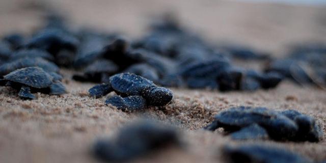 Gehavende populatie zeeschildpadden Salomonseilanden herstelt