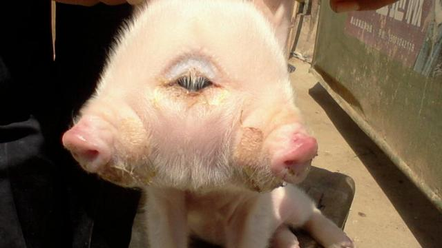 Tweekoppig varkentje geboren in China