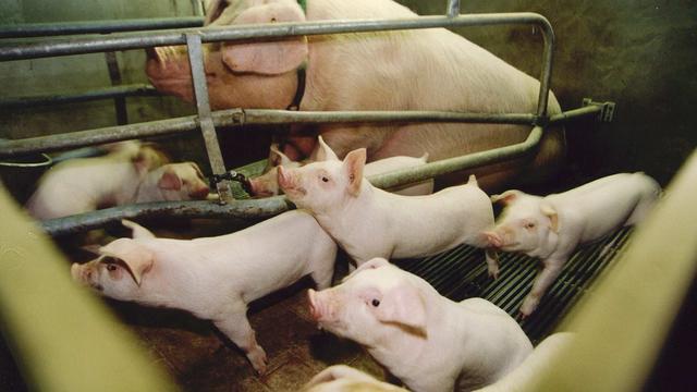 Dierenartsen noemen misstanden varkenshouderij dagelijkse realiteit