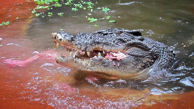 Australiërs houden herdenkingsdienst voor doodgeschoten oude krokodil