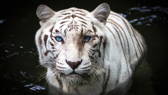Mysterie van witte tijger ontrafeld