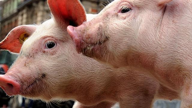 Menselijke stamcellen getransplanteerd naar varkens