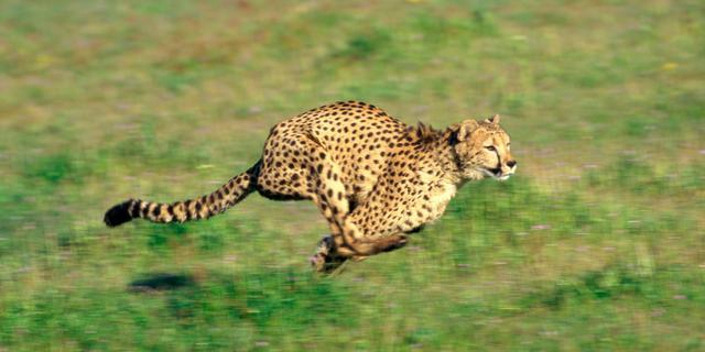 Jachtluipaard jaagt zelden op topsnelheid