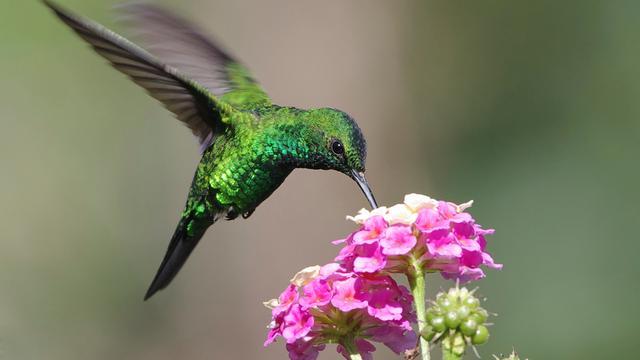 Kolibrie maakt snelste schudbewegingen