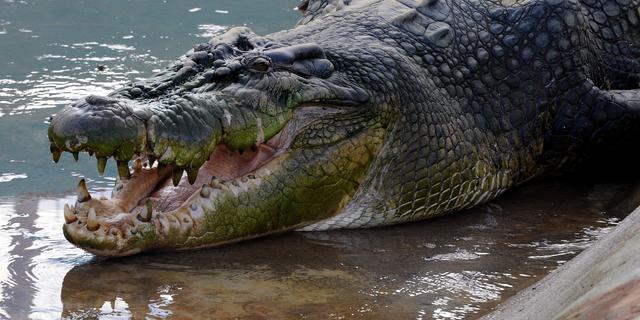 'Krokodillen eten regelmatig fruit'