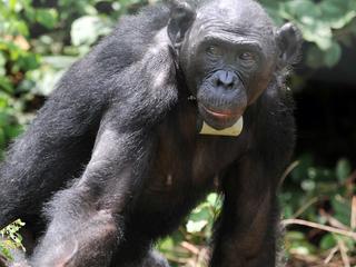 Spierstelsel van aap weinig veranderd in 8 miljoen jaar evolutie