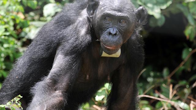'Ogen van bonobo's gaan achteruit na veertigste levensjaar'