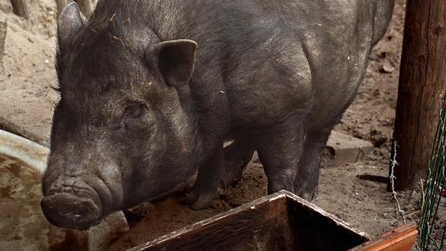 Plaag van hangbuikzwijnen in Belgische plaats