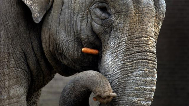 Brandweer in Duitse dierentuin helpt olifant overeind