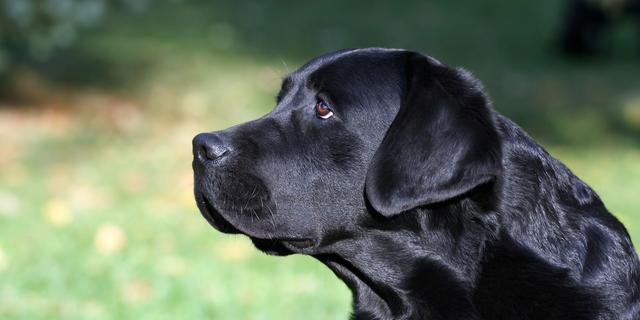 'Labradors vaak te dik door defect gen'
