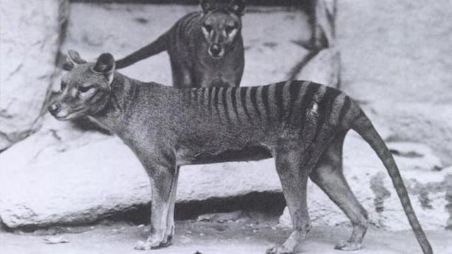 'Tasmaanse tijger stierf uit door zwakke kaken'