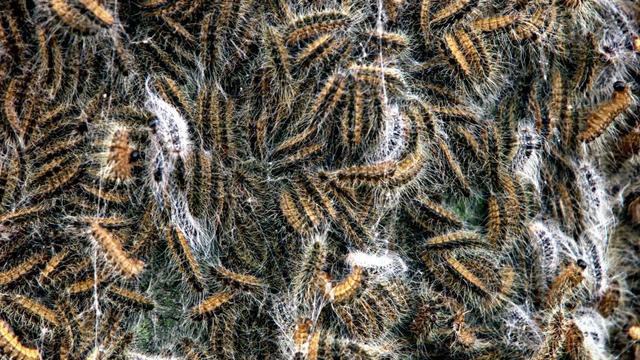 Veelvoud aan oogklachten deze zomer door haren eikenprocessierups