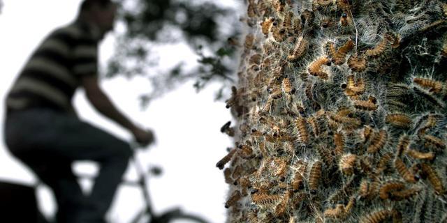 Toename overlast door eikenprocessierups in Noord-Nederland