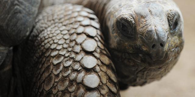 Voor het eerst in eeuw tijd Galapagosreuzenschildpad geboren