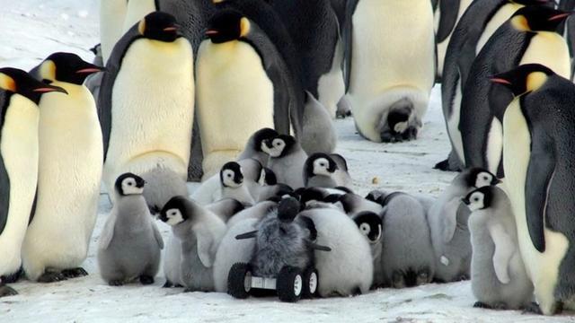 Onderzoekers vermommen robot als pinguïn