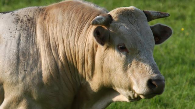 Losgebroken stieren zorgen voor commotie in Middelburg