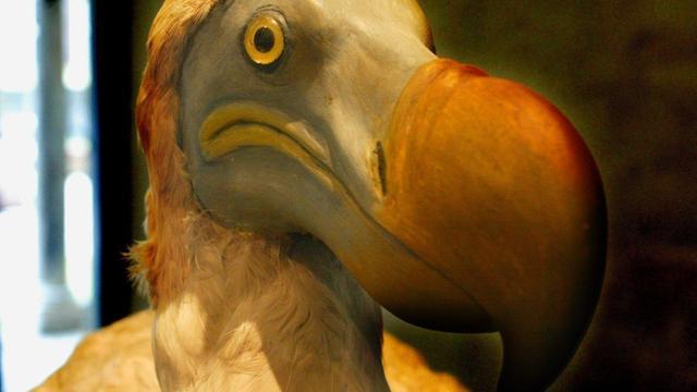 'Dodo's waren intelligenter dan gedacht'