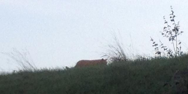 Franse 'tijger' is volgens deskundigen een lynx