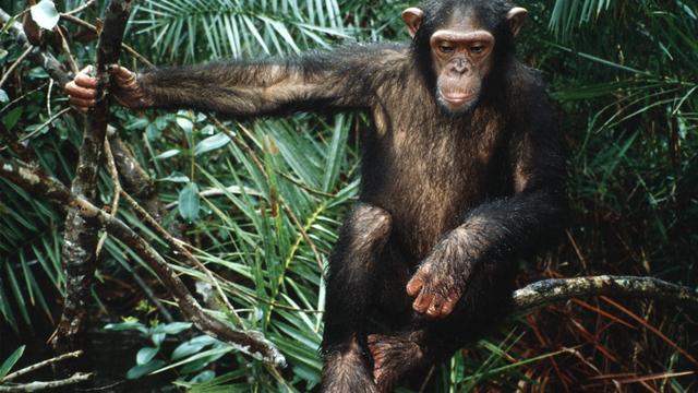 'Chimpansee heeft niet dezelfde rechten als mens'