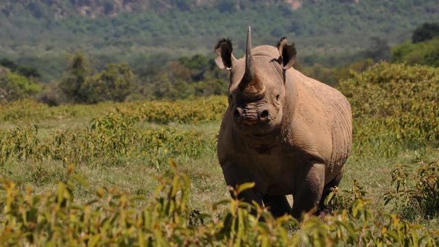 Recordaantal neushoorns dit jaar gedood in Zuid-Afrika