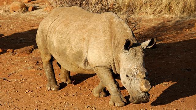 Zimbabwe haalt hoorns van 700 neushoorns tegen stroperij