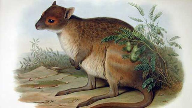 'Uitgestorven' wallaby bestaat toch nog in West-Australië