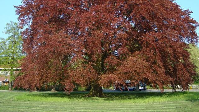170 jaar oude monumentale rode beuk op Rosarium voorlopig niet gekapt