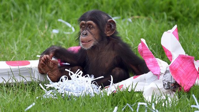 Chimpansee in Dierentuin Nuenen bevalt van jong