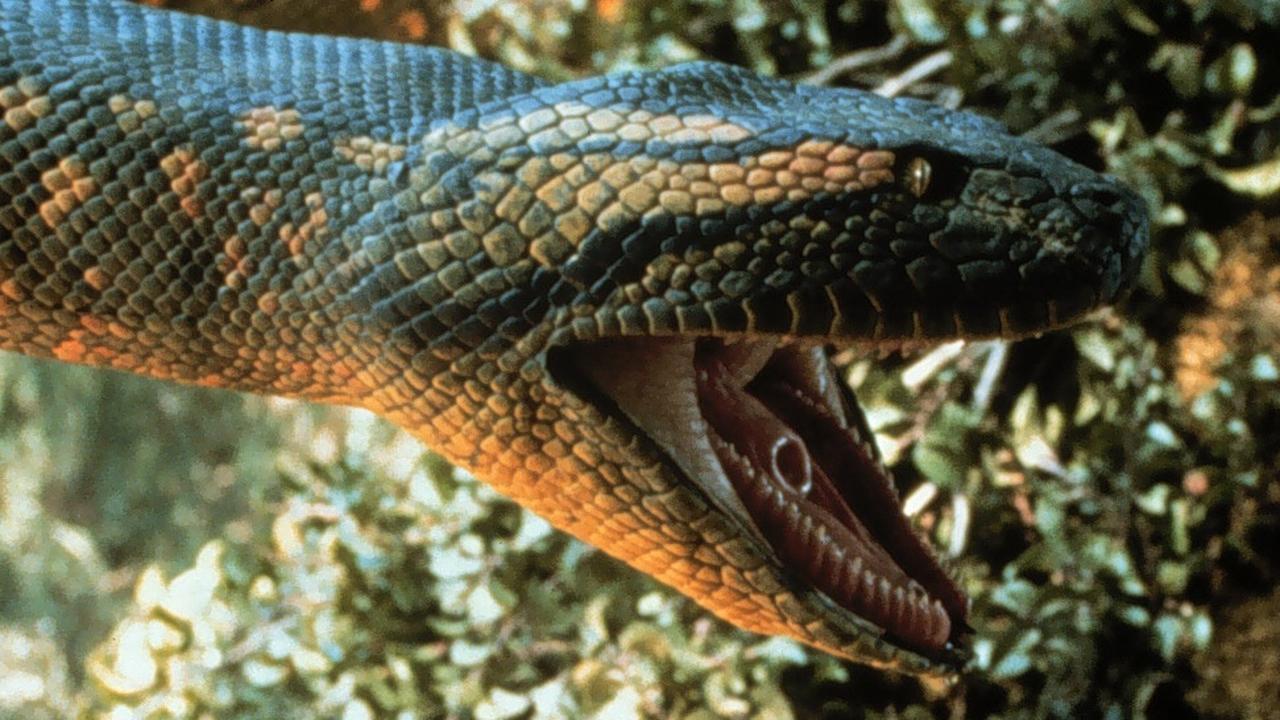 Mannen vinden anaconda van 10 meter lang en 410 kilo zwaar