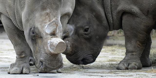 Zuid-Afrikaans verbod op handel in hoorn van neushoorn opgeheven