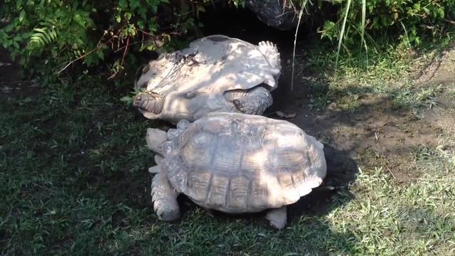 Schildpadden met tanden veel later uitgestorven dan gedacht