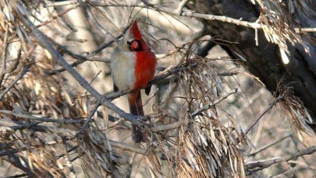 Amerikaanse zangvogel blijkt zowel mannelijk als vrouwelijk