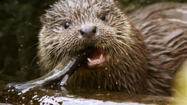 Otters steeds dichter bij Stad Groningen