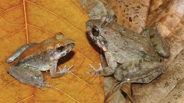 Indonesische kikker blijkt geen eitjes te leggen