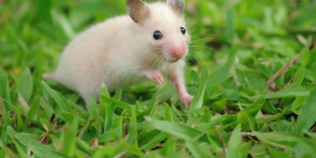 'Prairielandschap' in Zuid-Friesland door muizenplaag