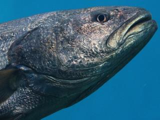 Volwassen vissen worden als eerste gevangen